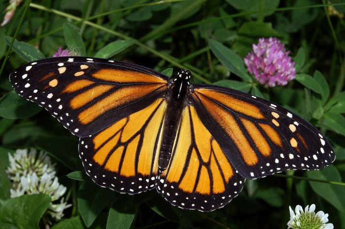 Panetta Introduces Monarch Act Which Aims to Prevent Extinction of Western Monarch Butterflies