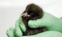 Monterey Bay Aquarium Breeds First Puffin Chick